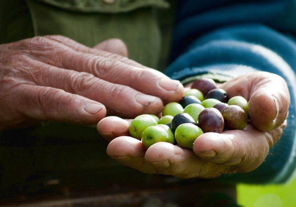 QUALE SAPORE DOVREBBE AVERE UN OLIO DI QUALITÀ  Saper riconoscere l'olio extra vergine di oliva
